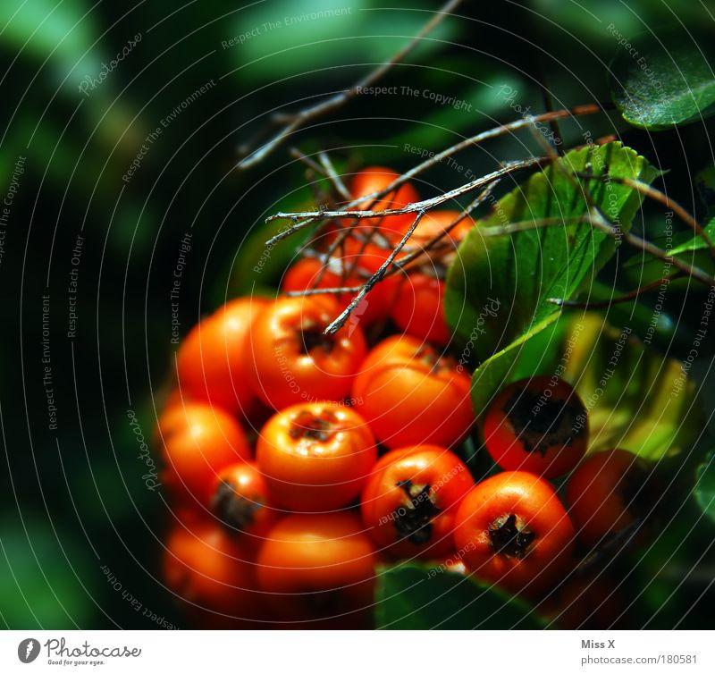Hecke Natur Pflanze Sommer Blatt Herbst Park hell orange klein Umwelt Frucht Sträucher Ast Schönes Wetter exotisch Beeren