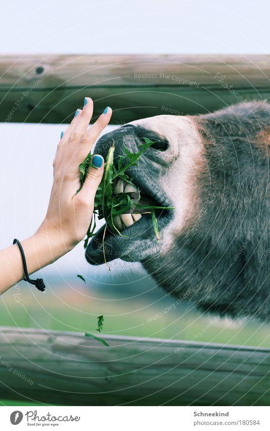 Feed the Horse Tier Leben Ernährung Bewegung lustig ästhetisch Wildtier Pferd Lippen Fell Gebiss berühren Weide Zaun skurril Appetit & Hunger
