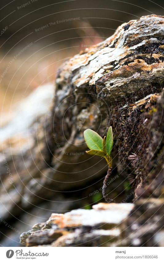 Nischendasein Natur Pflanze Sträucher Blatt Grünpflanze Wildpflanze Heidelbeerstrauch Blaubeerblatt Blaubeerpflanze Stein frisch Jungpflanze Blattgrün Felsen