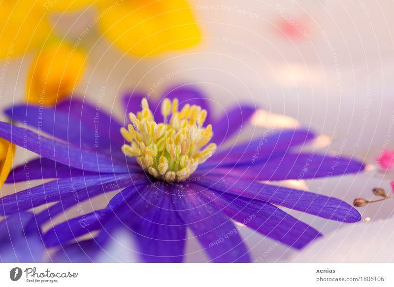 violette Anemone in Großaufnahme mit gelben Punkten im hellem Hintergrund Blüte Blume Anemonen Wellness harmonisch Wohlgefühl Erholung ruhig Spa