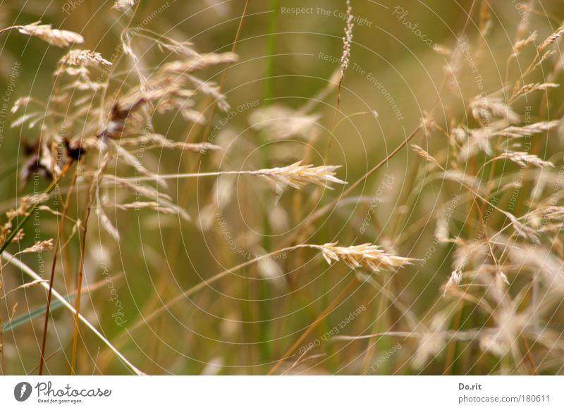 Deichgräser SPO 09 Natur Sommer Wärme Wiese Gras braun Zufriedenheit Wachstum gold Wind ästhetisch einfach Vergänglichkeit weich Neigung zart