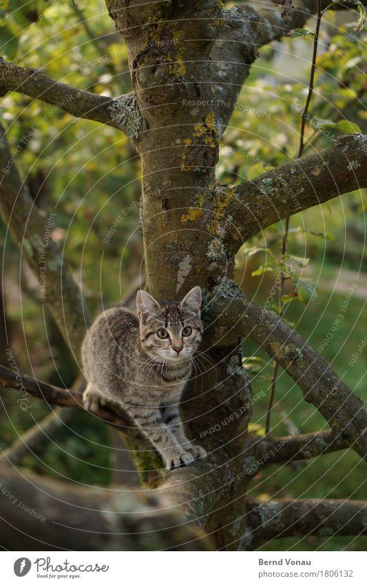 kratzbaum Tier Katze 1 Tierjunges toben grau braun grün Garten Baum Klettern Katzenbaby Tiger Tigerfellmuster Pfote kratzen Neugier Landraubtier niedlich