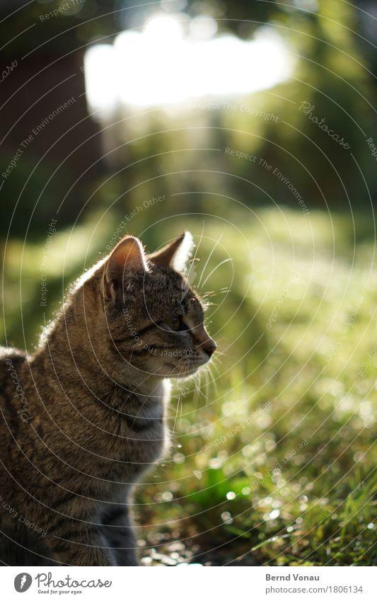 Kimmi Katze grün Tier Tierjunges Gras Garten braun sitzen niedlich Neugier entdecken Kitsch Fell Haustier friedlich Schnurrhaar