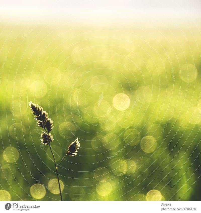 Juni im November Natur Pflanze Sommer grün ruhig Wiese Gras Glück Stimmung glänzend Wachstum gold Wassertropfen einfach Schönes Wetter Freundlichkeit