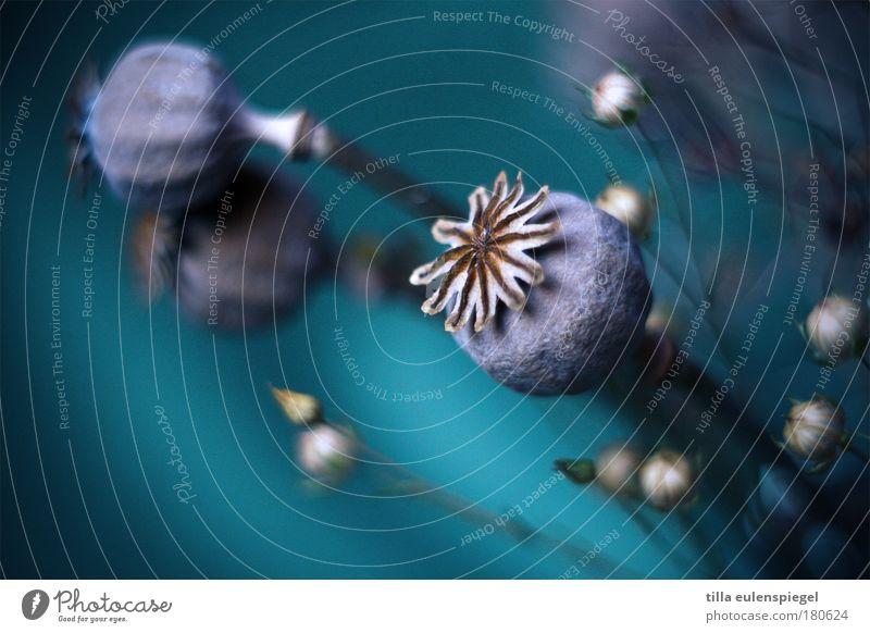 alles gute Natur schön Blume blau Pflanze Umwelt ästhetisch Vergänglichkeit natürlich Mohn Blumenstrauß türkis Wunsch verblüht Glückwünsche Trockenblume