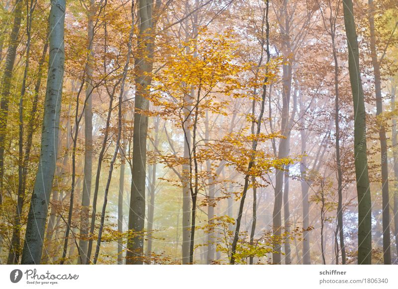 Dust & Gold Natur Pflanze Herbst Nebel Baum Wald mehrfarbig gelb gold Laubwald Laubbaum herbstlich Herbstlaub Herbstfärbung Herbstwald Herbstwetter