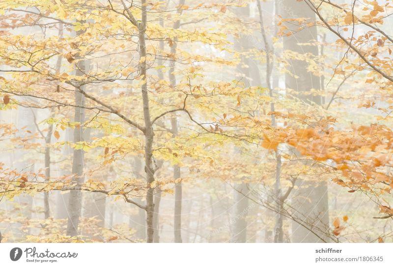 Fade away Natur Pflanze Baum Wald gelb Herbst braun orange Nebel Ast Herbstlaub herbstlich Herbstfärbung Herbstwetter Herbstwald Laubwald