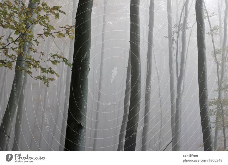Nebelbad Umwelt Natur Pflanze Baum Blatt Wald dunkel Nebelschleier Nebelbank Nebelwald Nebelstimmung Baumstamm Herbstwald Ast Außenaufnahme Menschenleer
