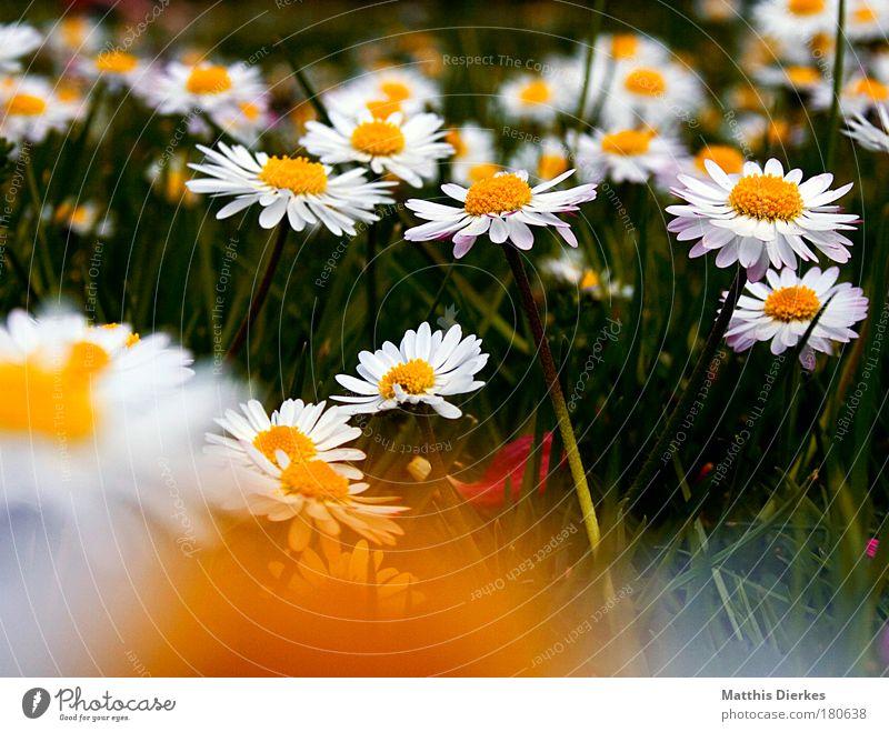 Daisy Natur schön Blume Pflanze Sommer gelb dunkel Erholung Wiese Blüte Gras Frühling Traurigkeit Trauer Fröhlichkeit Rasen