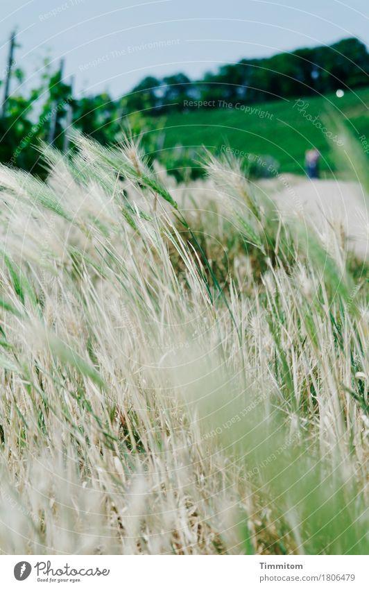 prima Klima | oben im schwäbischen Weinberg. Umwelt Natur Pflanze Himmel Schönes Wetter Gerstenähre Wald Wegrand Wachstum frisch natürlich blau grün beige