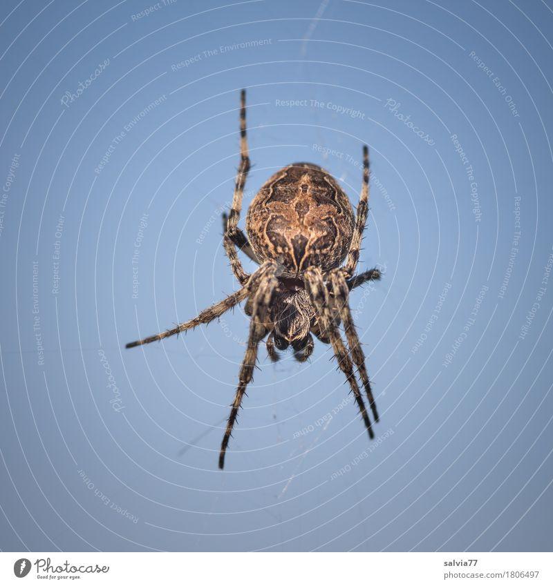 in der Luft hängen Natur Himmel nur Himmel Wolkenloser Himmel Schönes Wetter Spinne 1 Tier warten bedrohlich Ekel gruselig blau braun Entschlossenheit Risiko