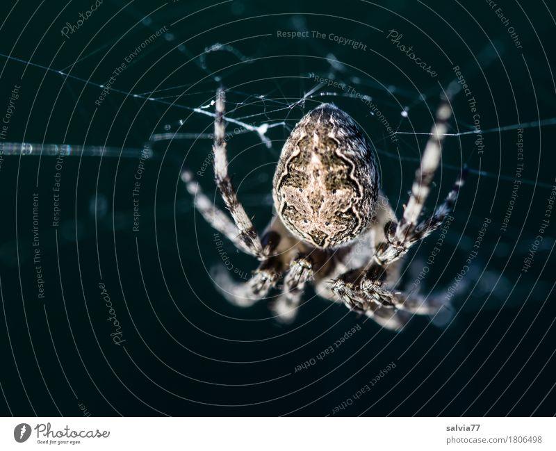 Kein Kuscheltier Halloween Natur Tier Spinne Eichblattspinne 1 beobachten hängen krabbeln lernen warten dunkel Ekel braun grau schwarz Wachsamkeit Angst bizarr