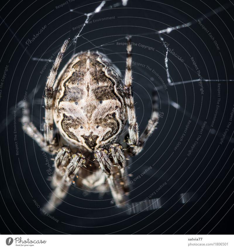 Happy Halloween Wildtier Spinne Spinnenbeine Spinnennetz 1 Tier hängen Jagd krabbeln bedrohlich gruselig nah grau schwarz Wachsamkeit Angst Entsetzen Ekel