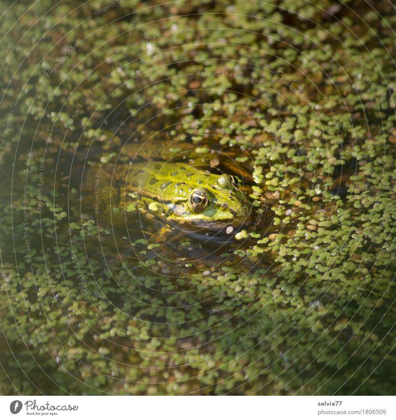 Linsenbad Natur Pflanze Sommer grün Tier ruhig Umwelt See Wildtier warten beobachten Wachsamkeit Jagd Teich Optimismus Frosch
