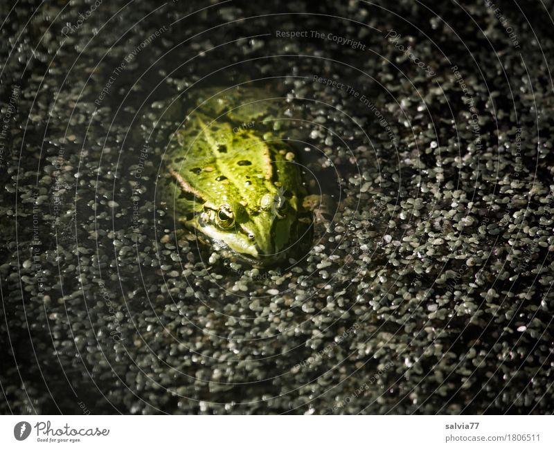 Linsensuppe mit Frosch Natur Pflanze Sommer grün Wasser Tier grau See Wachsamkeit Tiergesicht Teich geduldig Sumpf Moor Lurch