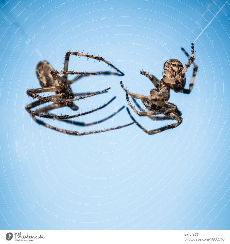 Open Air Natur Tier Luft Himmel Wolkenloser Himmel Schönes Wetter Wildtier Spinne 2 Tierpaar hängen krabbeln bedrohlich Ekel blau schwarz uneinig Feindseligkeit