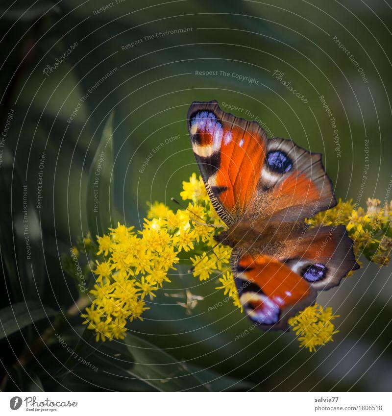 VierAugen Umwelt Natur Pflanze Tier Frühling Sommer Blume Blüte Schmetterling Flügel Insekt Tagpfauenauge 1 Blühend Duft leuchten Liebe ästhetisch positiv schön