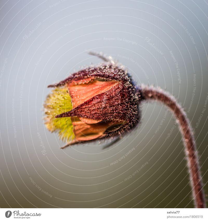 Köpfchen mit Tröpfchen Umwelt Natur Wassertropfen Himmel Sommer Pflanze Blume Blüte Wildpflanze bachnelkenwurz Blühend ästhetisch frisch natürlich positiv braun
