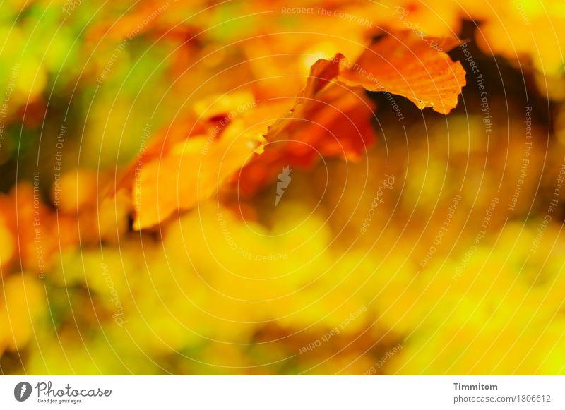 Vollherbst. Umwelt Natur Pflanze Herbst Blatt Buche Buchenblatt Wald ästhetisch natürlich braun gelb gold grün Farbfoto Außenaufnahme Menschenleer Tag