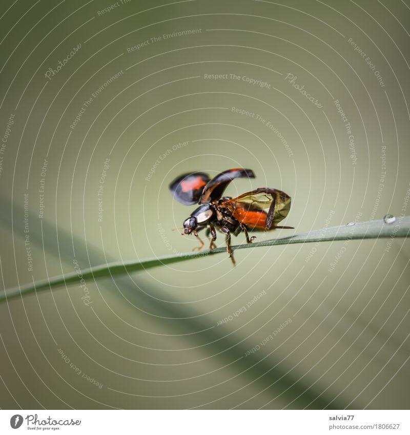 ein guter Start ist... Umwelt Natur Tier Frühling Sommer Blatt Halm Wildtier Käfer Flügel Insekt Marienkäfer 1 fliegen krabbeln klein Beginn Entschlossenheit