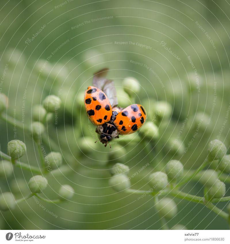 startklar Natur Pflanze Tier Blüte Blütenknospen Holunderblüte Käfer Marienkäfer Insekt fliegen krabbeln ästhetisch frei klein positiv rund grün orange