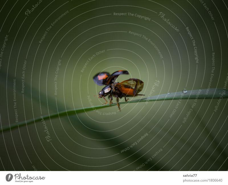 startklar Natur Tier Frühling Gras Blatt Wiese Käfer Flügel Insekt Marienkäfer 1 fliegen krabbeln niedlich grün rot schwarz Beginn Leichtigkeit Abheben
