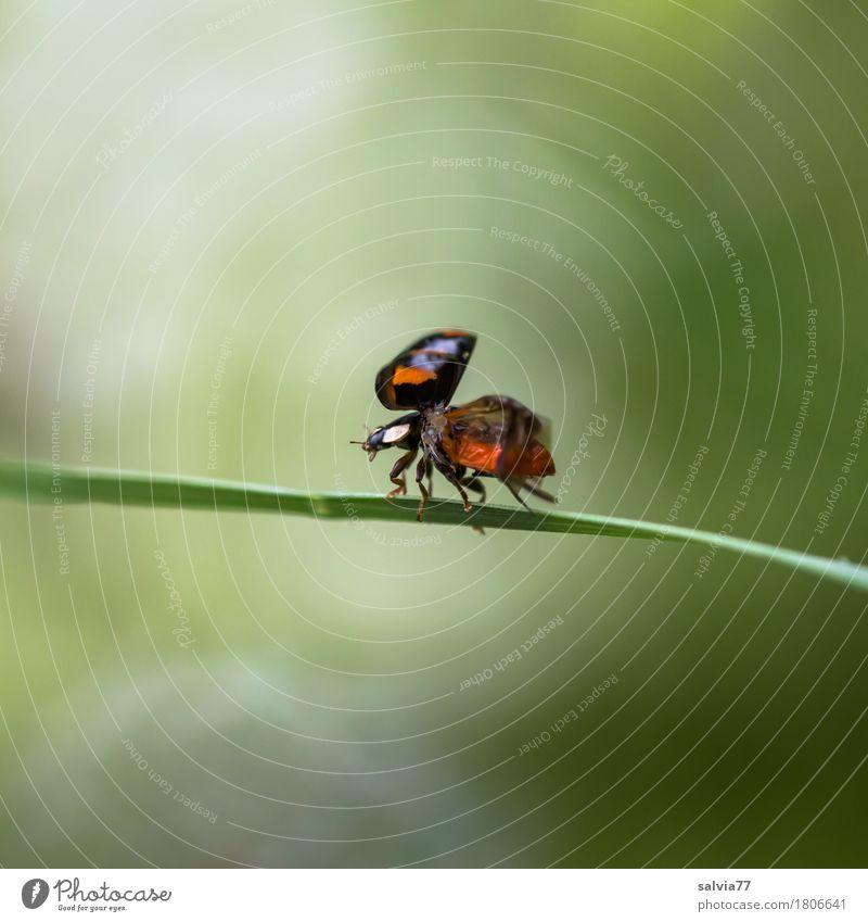 Start in den Frühling Umwelt Natur Tier Sommer Gras Blatt Käfer Flügel Marienkäfer Insekt 1 fliegen krabbeln ästhetisch frei grün rot schwarz Glück