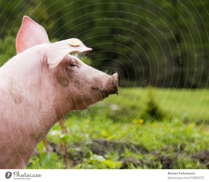 """Ein Schwein auf grüner Wiese Fleisch Natur Pflanze Tier Haustier Nutztier """"Schwein Hausschwein"""" 1 Fressen Blick frech Gesundheit rosa Tierliebe """"Freilandhaltung"""
