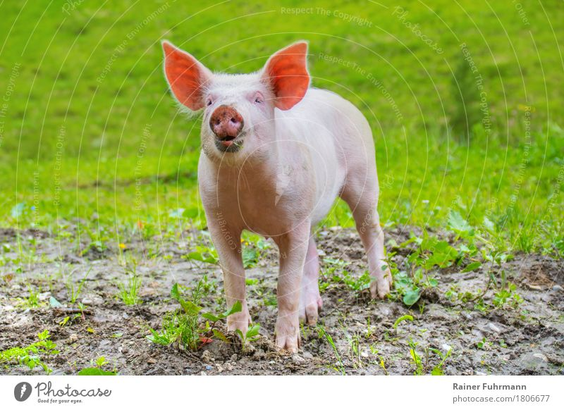 """ein junges Hausschwein auf einer grünen Wiese Umwelt Tier Sommer Haustier Nutztier """"Schwein Frischling Hausschwein"""" 1 Glück Zufriedenheit Lebensfreude Freude"""