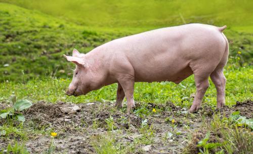 """ein junges Hausschwein auf einer Wiese Natur Tier Haustier Nutztier """"Schwein Ferkel"""" 1 Fressen laufen Glück niedlich Umwelt Umweltschutz """"natürlich Nachhaltig"""