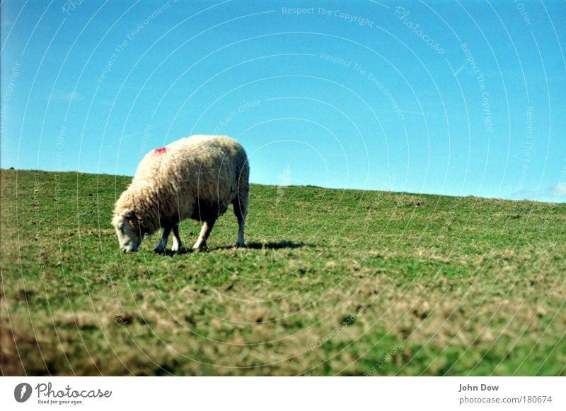 Shaun the Sheep Außenaufnahme Menschenleer Tierporträt Ernährung Landschaft Himmel Wolkenloser Himmel Schönes Wetter Gras Wiese Fell Schaf 1 Fressen
