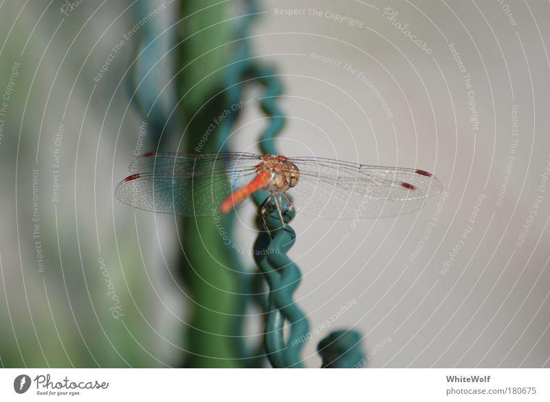 Libelle Natur schön grün rot ruhig Tier Umwelt Geschwindigkeit sitzen ästhetisch nah Flügel dünn Gelassenheit Wildtier Wachsamkeit