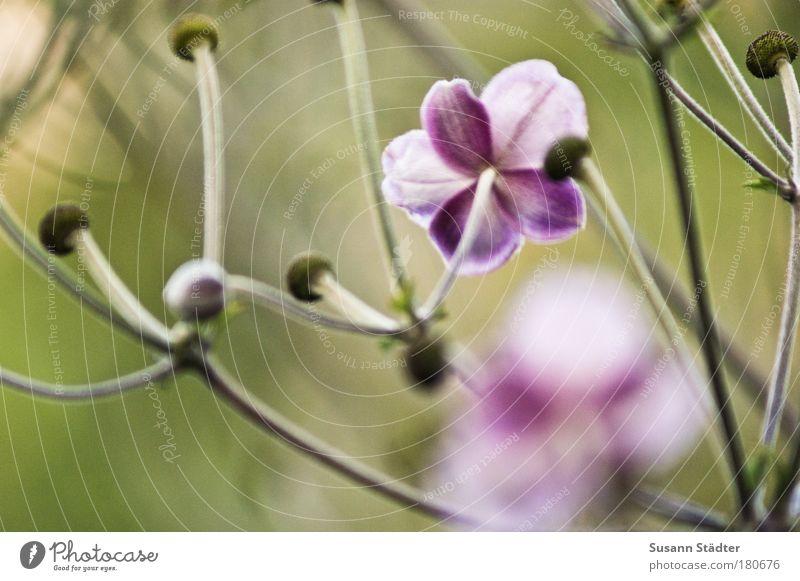 Sommerreste Blume Pflanze Wiese Blüte Traurigkeit Park Beginn Fröhlichkeit neu Sträucher violett zart natürlich Stengel Blühend Freundlichkeit
