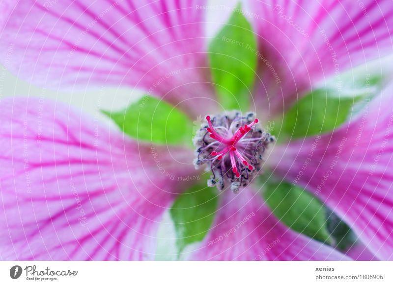 Kapmalve Sommer grün Blume Blüte Frühling grau rosa Malvengewächse