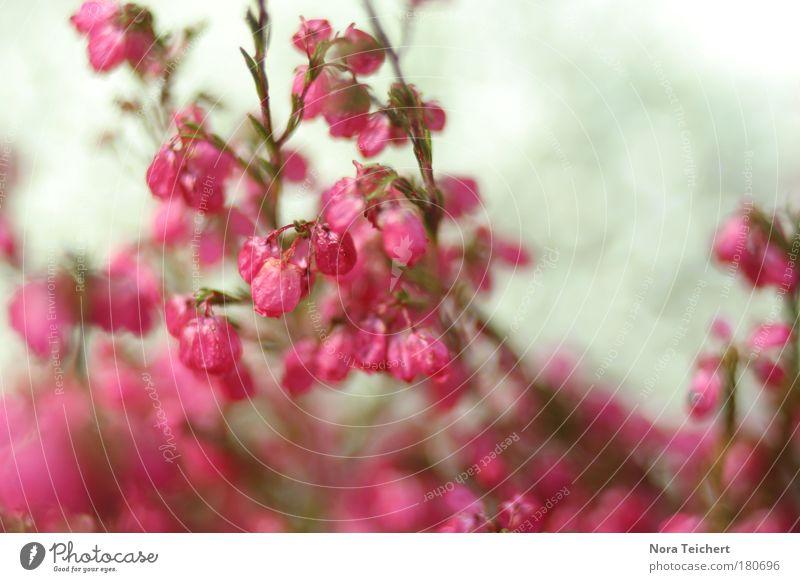 Pink. Natur schön Pflanze Sommer Tier Umwelt Landschaft Herbst Glück Blüte träumen Gesundheit rosa frisch verrückt ästhetisch