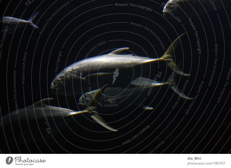 spooky fishes Farbfoto Gedeckte Farben Unterwasseraufnahme Experiment Nacht Kunstlicht Kontrast Reflexion & Spiegelung Fisch 4 Tier Tiergruppe Schwarm schwarz