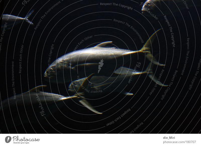 spooky fishes schwarz Tier Fisch Tiergruppe Nacht Unterwasseraufnahme silber unheimlich Schwarm Karpfen
