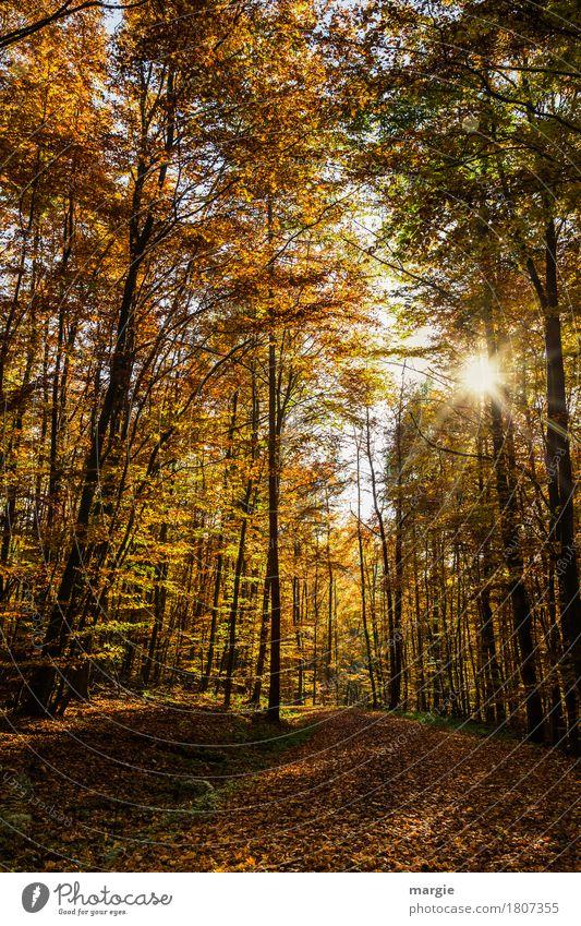 Herbstsonne Natur Schönes Wetter Baum Blatt Wald gelb herbstlich Herbstlaub Herbstfärbung Herbstwetter Herbstwald Herbstlandschaft Wege & Pfade Wegbiegung