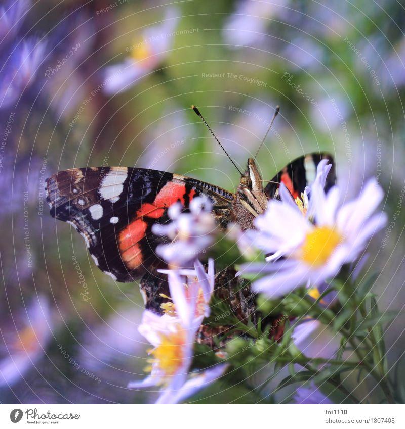 """Admiral """"an"""" Herbstaster Pflanze blau grün weiß Sonne Blume rot Tier schwarz gelb Herbst natürlich Garten außergewöhnlich Wildtier Flügel"""
