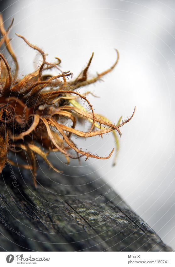 Alien-Nuss Natur alt Baum Pflanze Sträucher gruselig stachelig Haselnuss