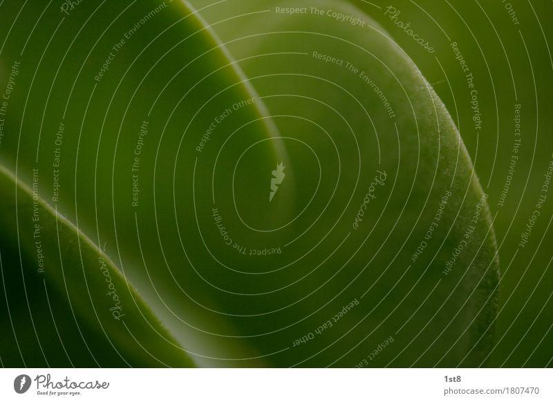 green curves Umwelt Natur Tier Pflanze Blatt Grünpflanze exotisch atmen Wachstum saftig grün Gummibaum Low Key Bogen Farbfoto Nahaufnahme Detailaufnahme