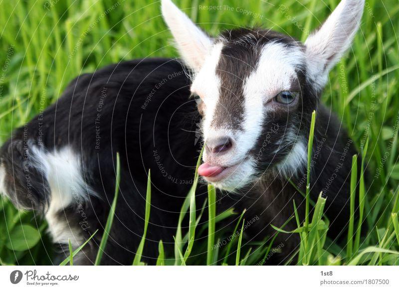 zierliche Ziege zeigt Zunge. Ferien & Urlaub & Reisen Tourismus Ausflug Flirten Ostern Auge Ohr Umwelt Natur Frühling Sommer Gras Wiese Tier Haustier Nutztier
