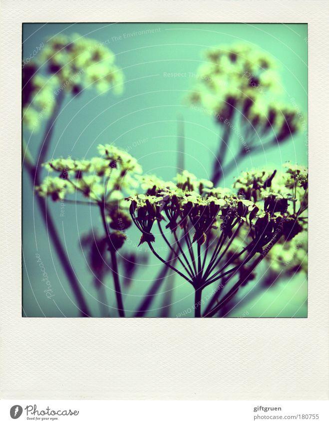shooting stars Farbfoto Außenaufnahme Polaroid Menschenleer Natur Himmel Frühling Sommer Pflanze Blume Blüte Wiese Blühend Wachstum ästhetisch Fröhlichkeit