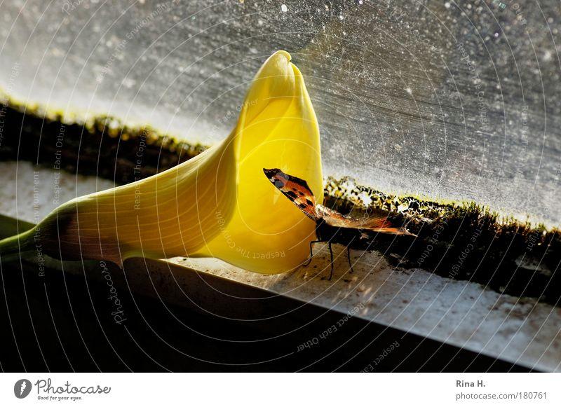 tät-a-tät Blume gelb Gefühle dreckig sitzen ästhetisch Fenster einzigartig Hoffnung außergewöhnlich leuchten geheimnisvoll Kontakt Schmetterling Verfall skurril