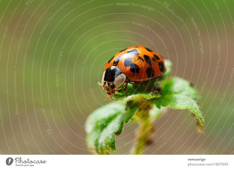 Marienkäfer Pflanze Tier Blatt Käfer rot Wanze Insekt gepunktet Außenaufnahme Nahaufnahme