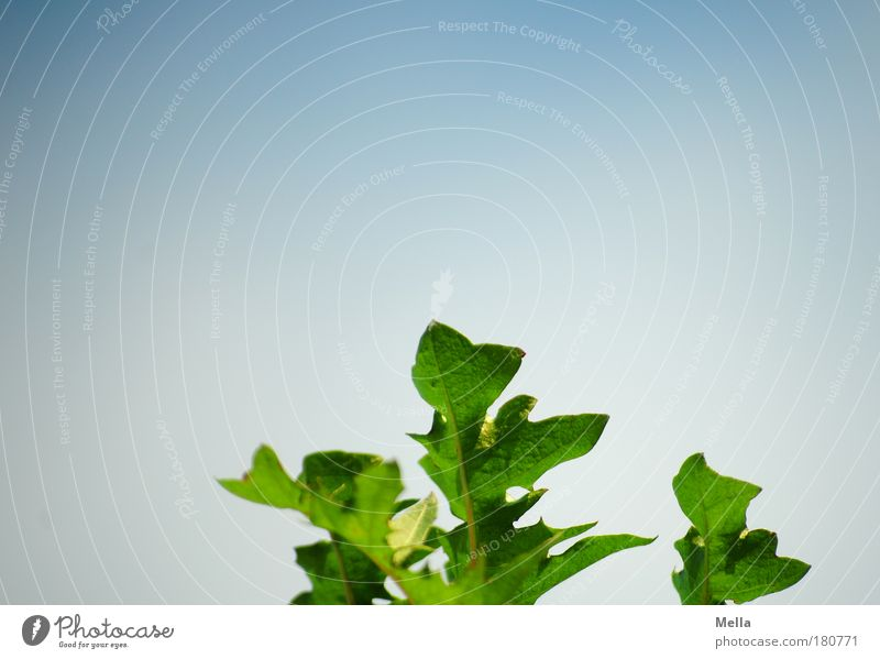 Eine Frage der Perspektive Natur Himmel grün blau Pflanze Sommer Blatt Wiese Feld Umwelt Wachstum natürlich Löwenzahn Umweltschutz Grünpflanze Heilpflanzen