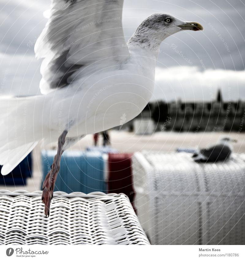außersaisonale strandkorbnutzung Natur weiß blau rot Strand Ferien & Urlaub & Reisen Tier Ferne kalt Herbst Bewegung Vogel Küste Fliege fliegen Flügel