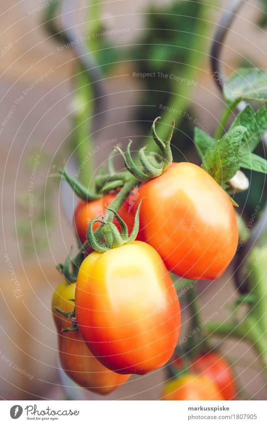 frische bio tomaten urban gardening Lebensmittel Gemüse Tomate Tomatenplantage tomatenstrauch frühreif Ernte Ernährung Essen Mittagessen Picknick Bioprodukte