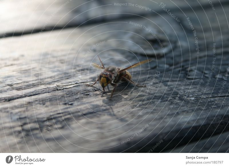 Standbein Natur Tier schwarz gelb oben Bewegung Kraft Angst warten wild gefährlich stehen bedrohlich Flügel Neugier Biene