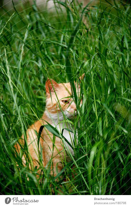 Katzengras Natur weiß schön rot Tier Spielen Glück gold sitzen warten wild frei beobachten Neugier Tiergesicht